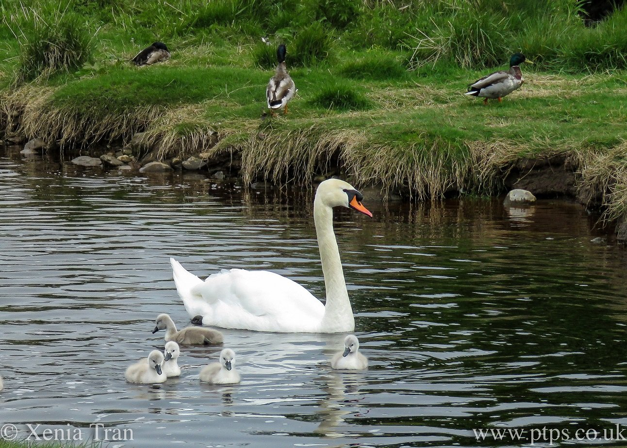 a swan with five cygnets