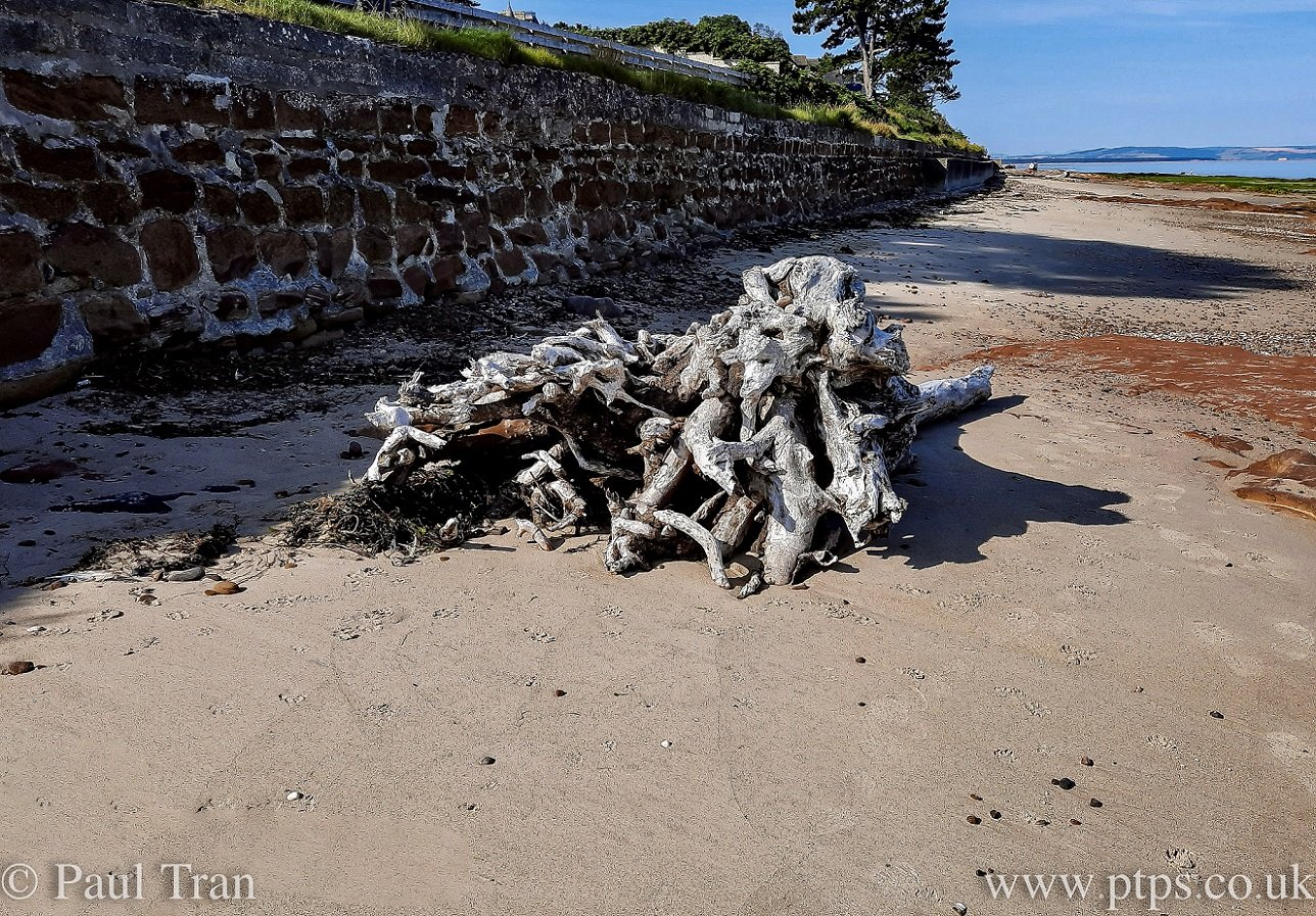 root ball of a driftwood tree washed up on the beach beside the promenade wall