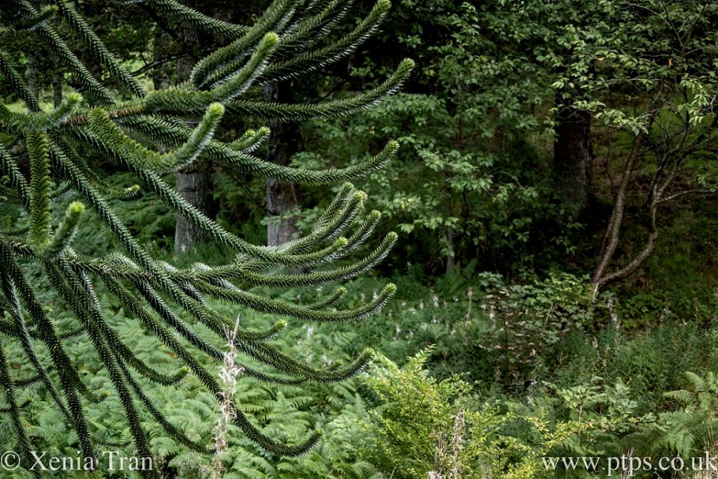 close up of branches from a monkey puzzle tree